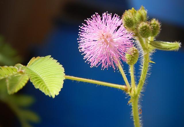 mimosa-pudica-2822997_640